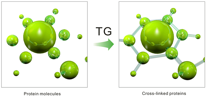 آنزیم ترانس گلوتامیناز میکروبی TG و عملکرد آن در پنیر